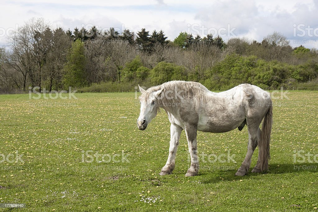 Old horse in a meadow with dandelions royalty-free stock photo