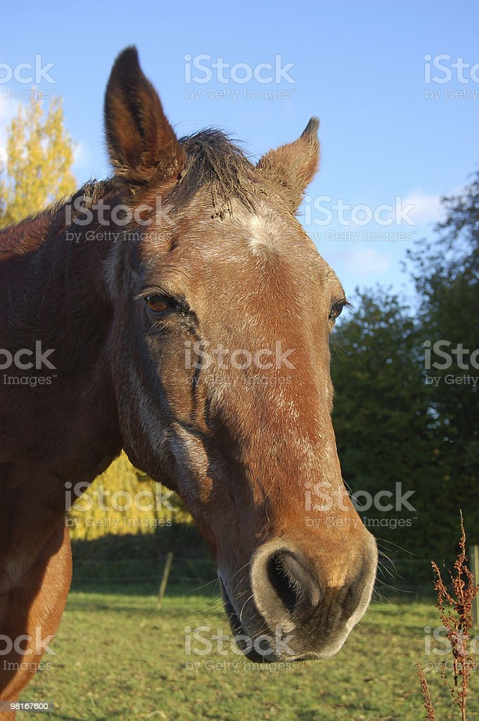 Old horse royalty-free stock photo