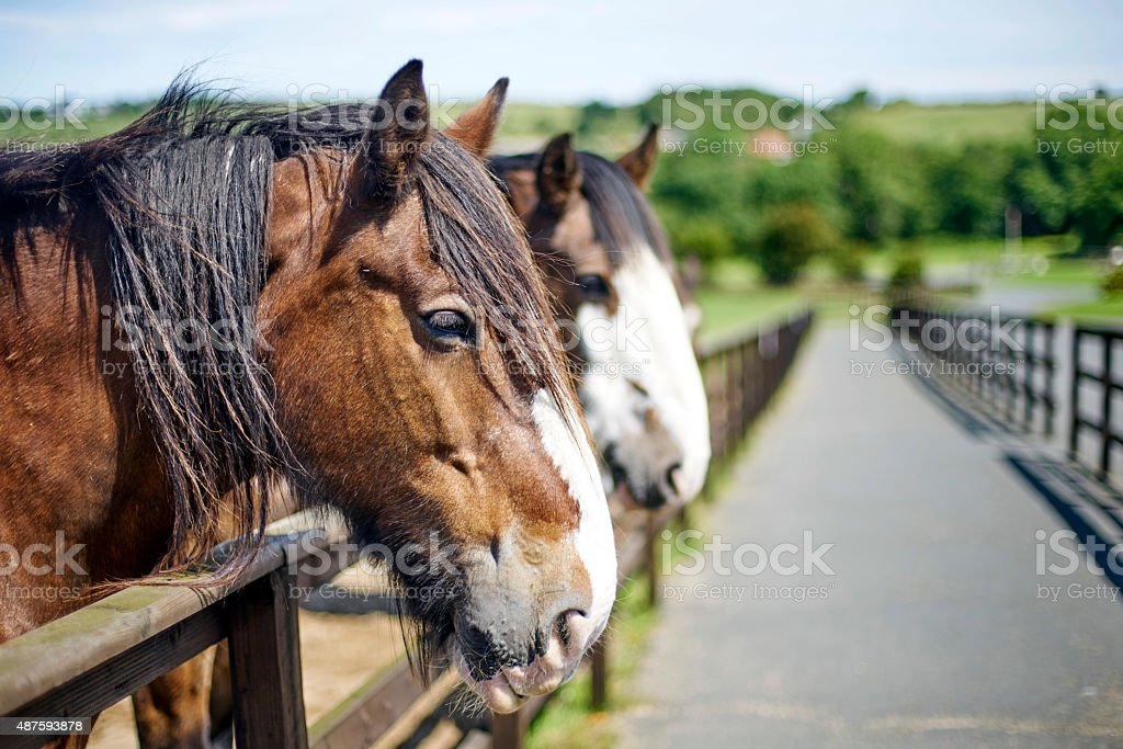 Old horses looking over a wooden fence stock photo
