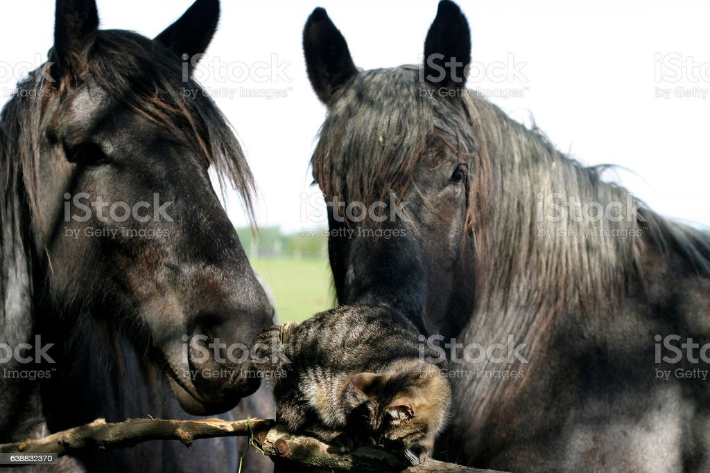 Old horses playing a cute little kitten cat stock photo