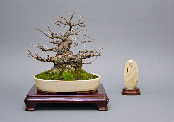 Old Ilex Bonsai – Foto