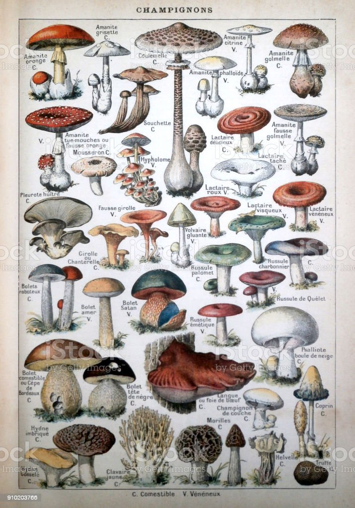 Old illustration listing the mushrooms stock photo