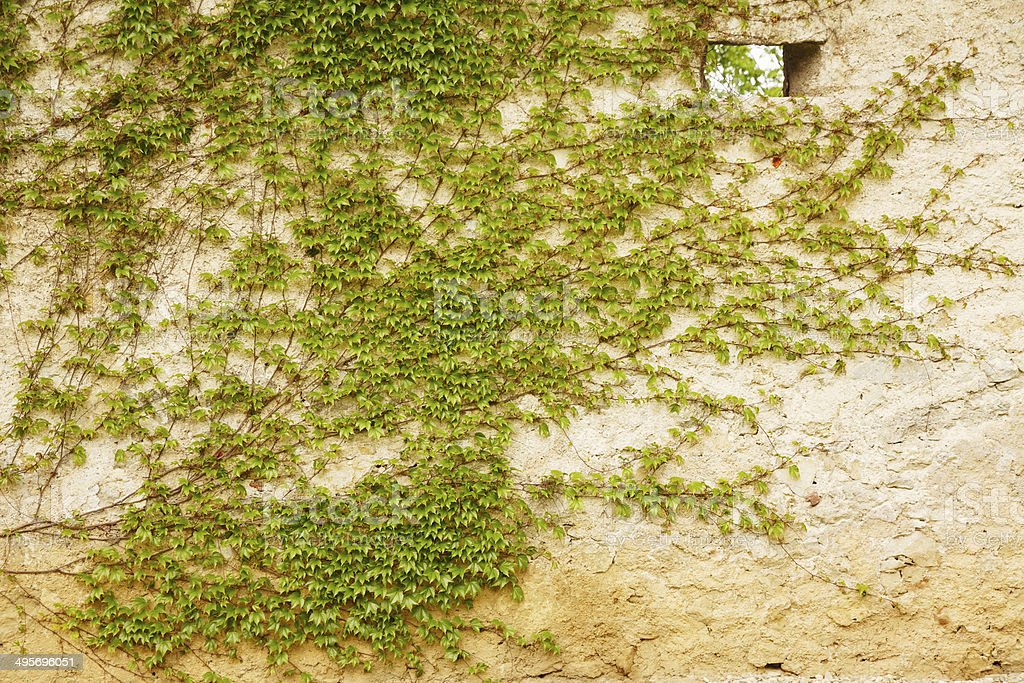 Old  Ivy Covered Wall royalty-free stock photo