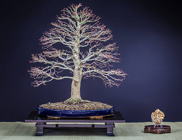 Old Japanese Maple Bonsai – Foto