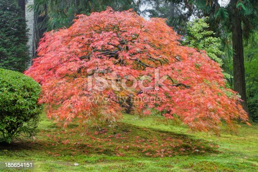 Old Japanese Laced Leaf Red Maple Tree in Autumn Season with Green Moss