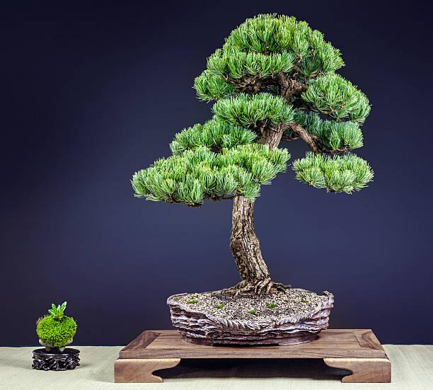 Old Japanese White Pine Bonsai – Foto
