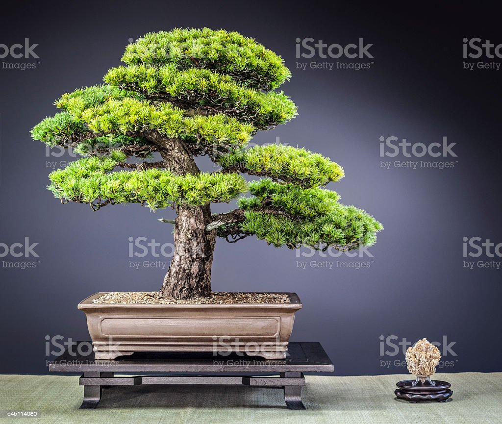 Old Japanese Zuisho White Pine Bonsai - Photo