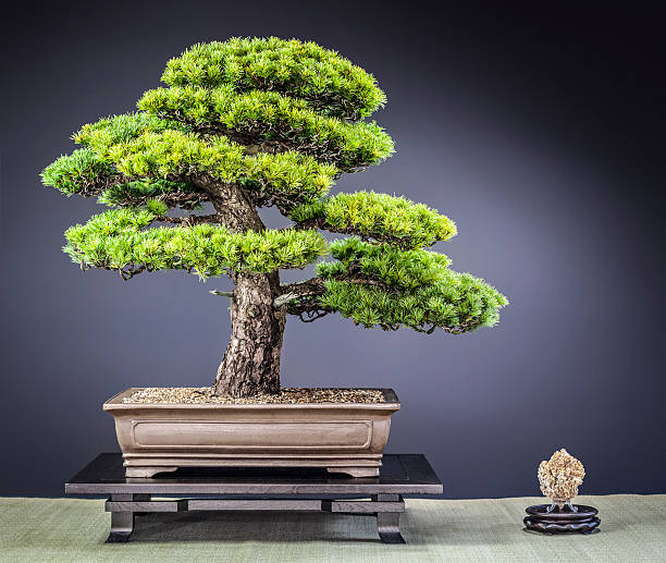 Old Japanese Zuisho White Pine Bonsai – Foto