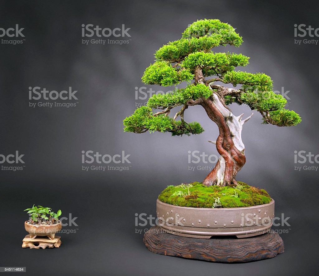Old Juniper Bonsai – Foto