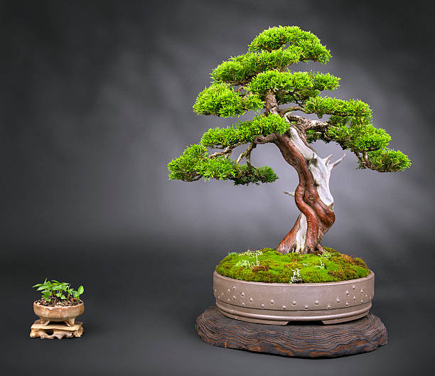 Old Juniper Bonsai – Foto