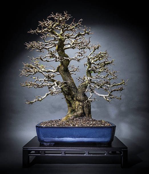 Old Korean Hornbeam Bonsai – Foto