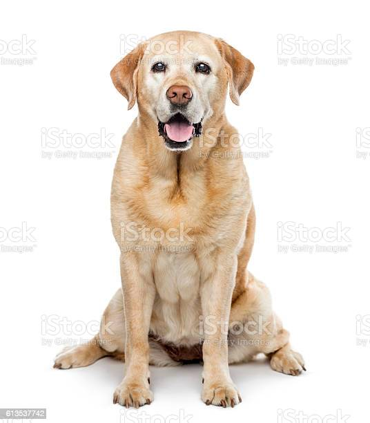 Old labrador retriever 11 years old isolated on white picture id613537742?b=1&k=6&m=613537742&s=612x612&h=wbux n51begthxr6gvkldjcylqzp98z7fo5d7 dffoc=