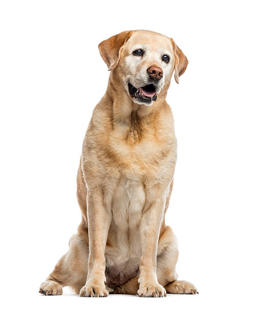 old Labrador Retriever, 11 years old, isolated on white stock photo