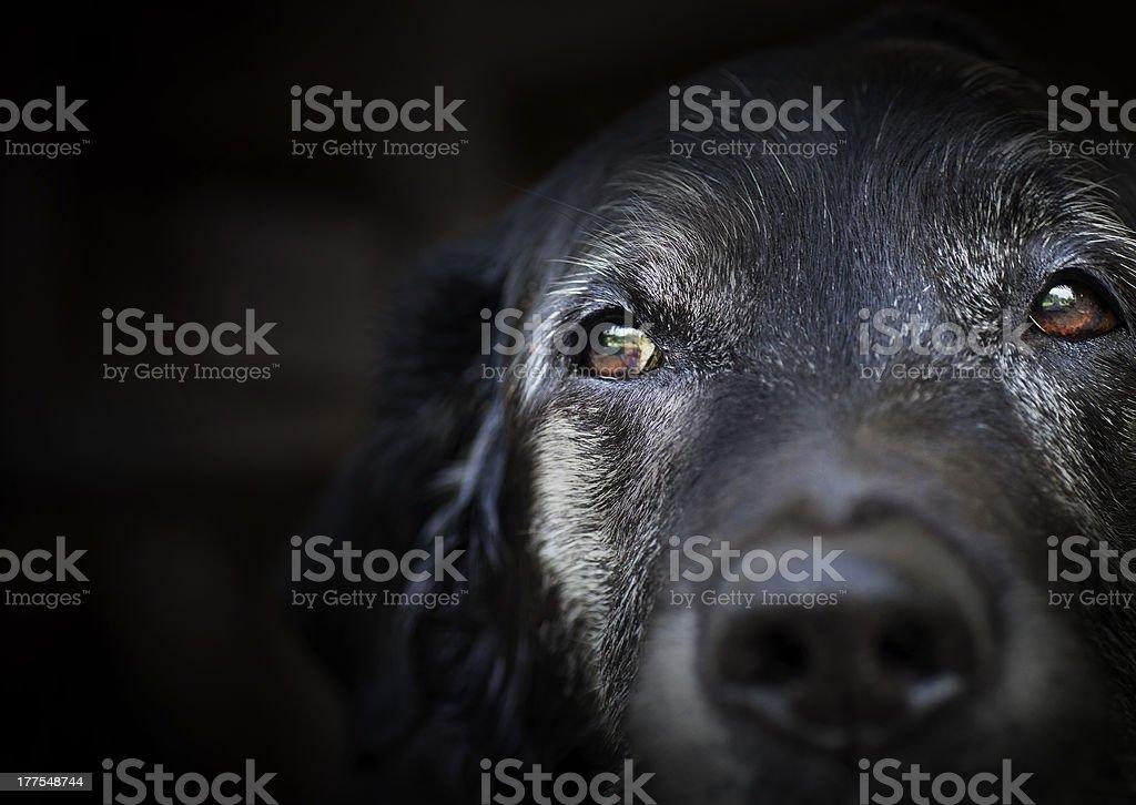 Old retriever du labrador. - Photo