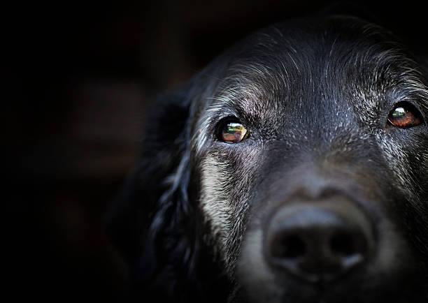 Old labrador retriever. stock photo