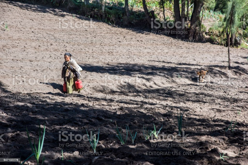 Old lady farmer walking in onion field located near Bromo mountain on the way to her work in day time, Indonesia stock photo