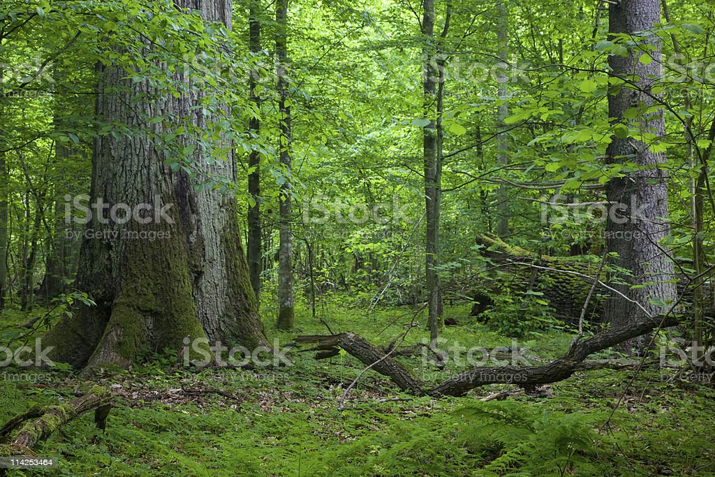 Old large oak tree with broken one in background royalty-free stock photo