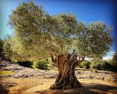 Very old olive tree with twisted trunk growing in nature with bright blue sky. Tree is close up and full image is in focus