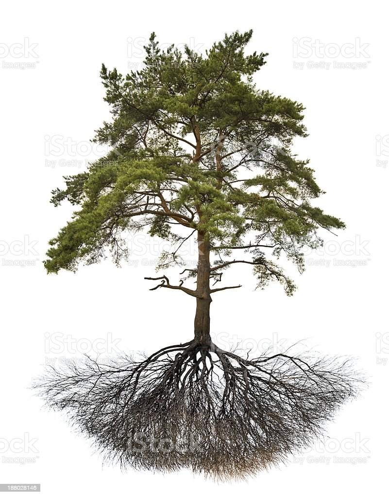 old large pine with root on white stock photo