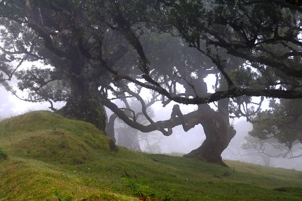 old laurel trees in the mist/fog - ethereal forest landscape stock photo