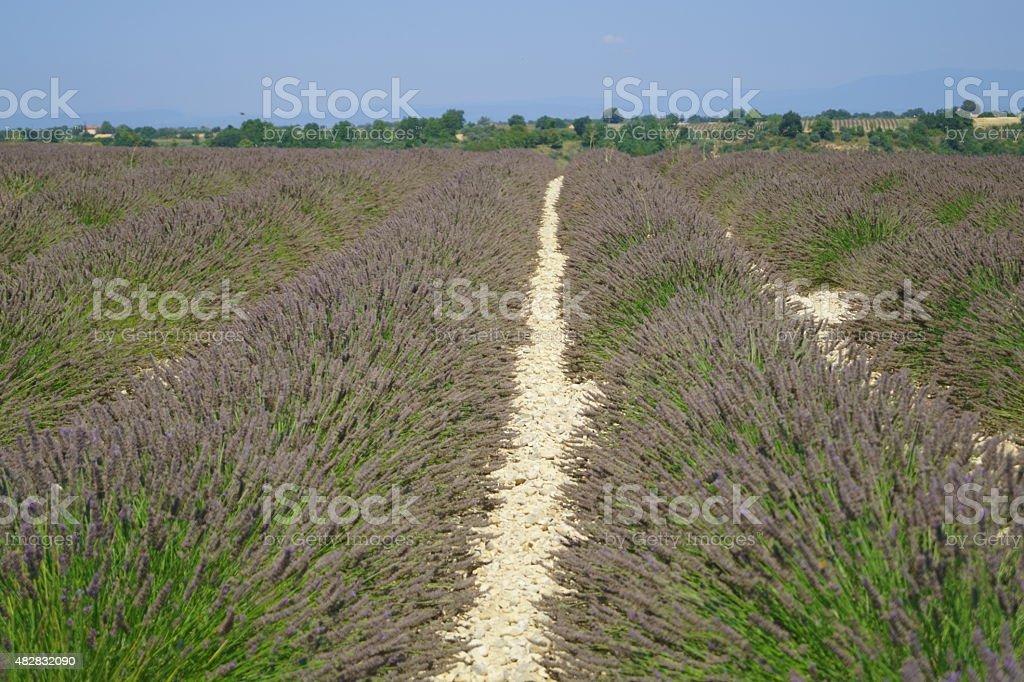 Old Lavender stock photo