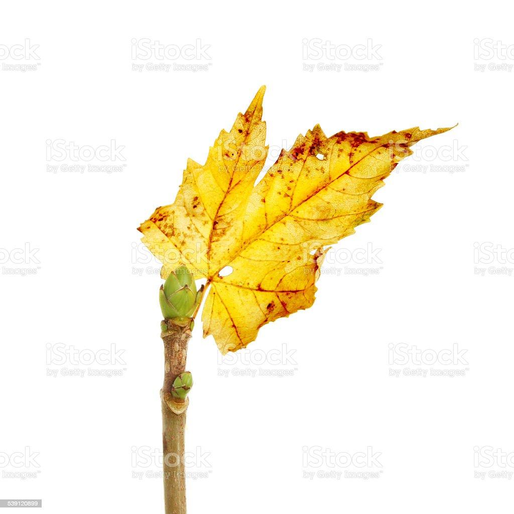 Old leaf new bud stock photo