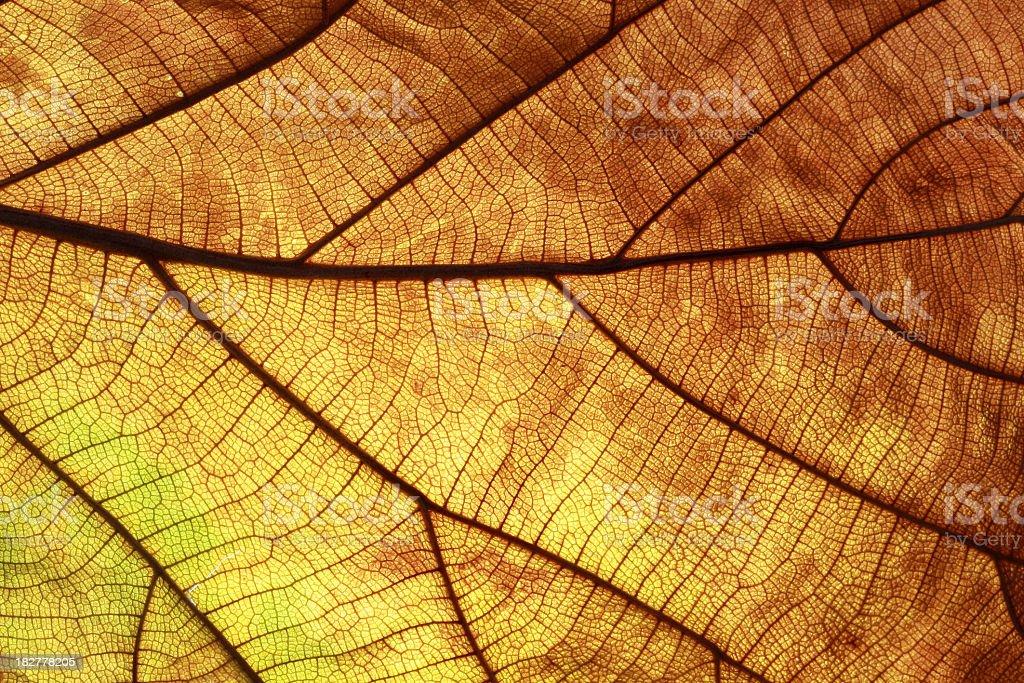 Old leaf transparance on back light royalty-free stock photo