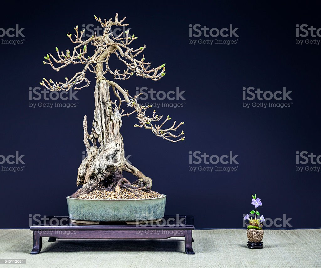 Old Lilac Bonsai Stock Photo Download Image Now Istock