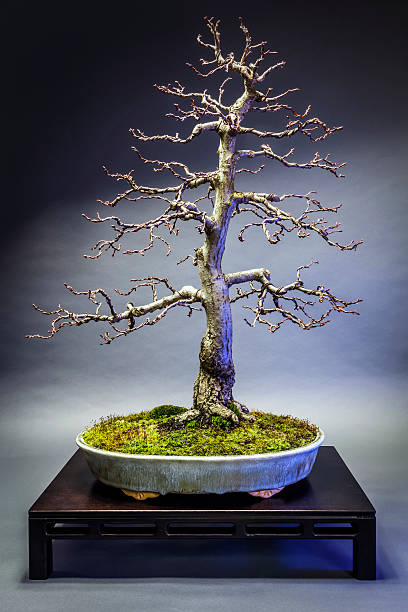 Old Linden Bonsai – Foto