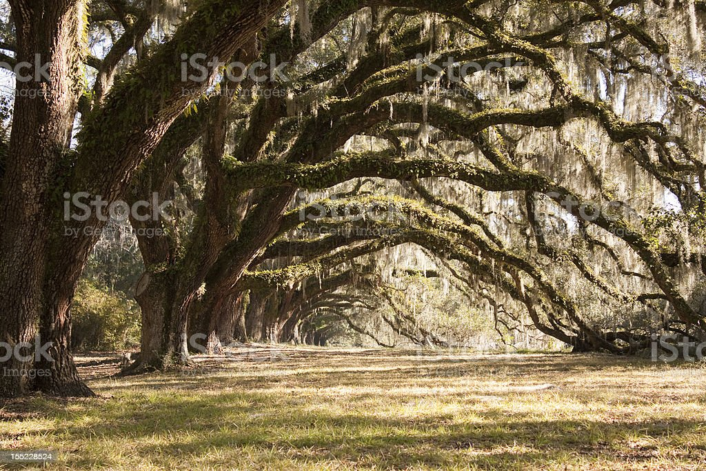 Old live oak trees with spanish moss and green ferns stock photo