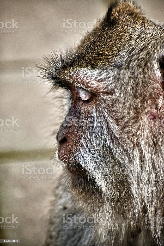 Old Macaque Monkey Profile stock photo