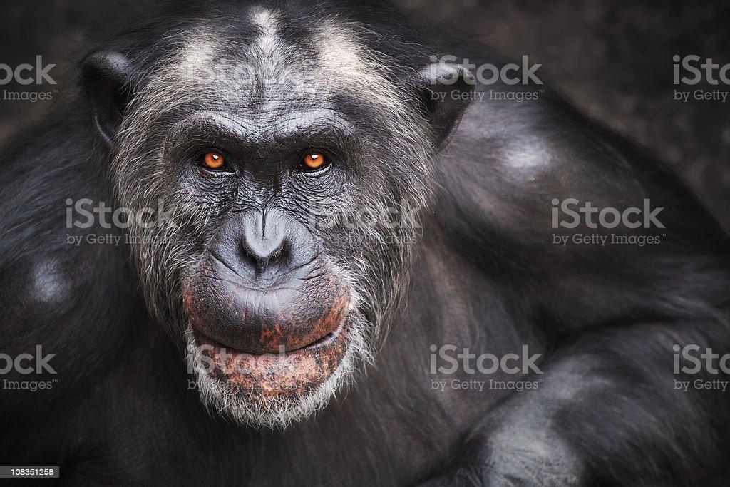 Old male chimpanzee stock photo