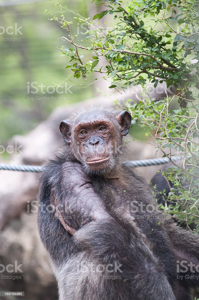 Old male Chimpanzee royalty-free stock photo