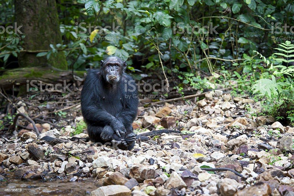 Old  male Chimpanzee, wildlife shot, Gombe National Park,Tanzania stock photo