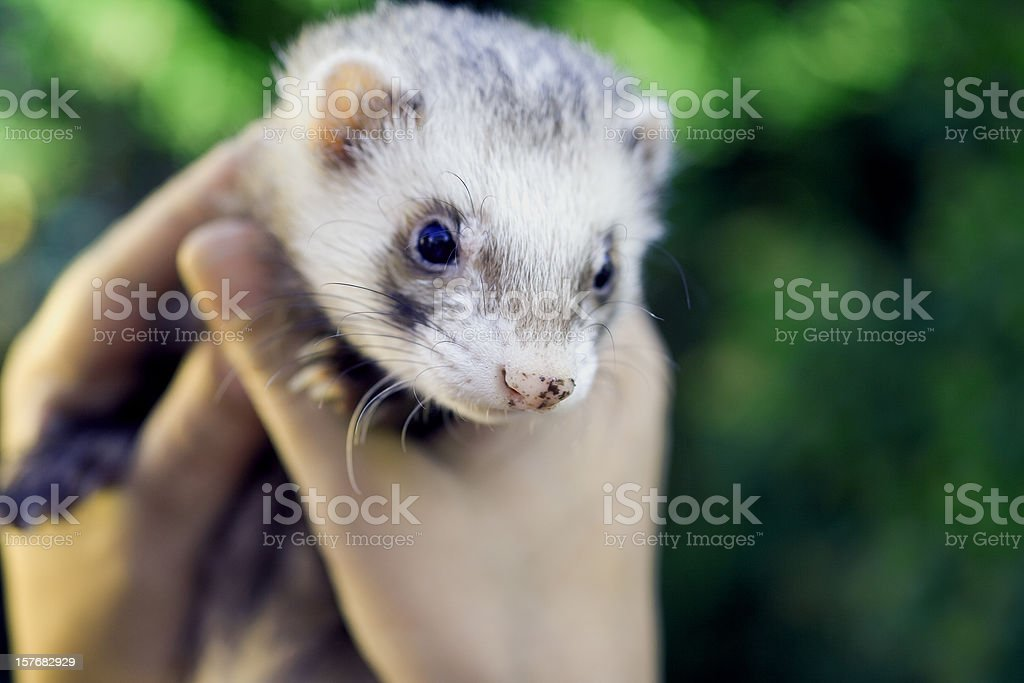 Old male ferret stock photo