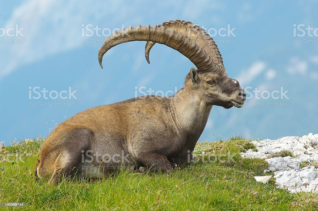 Old male ibex resting in Julian Alps -  Slovenia stock photo