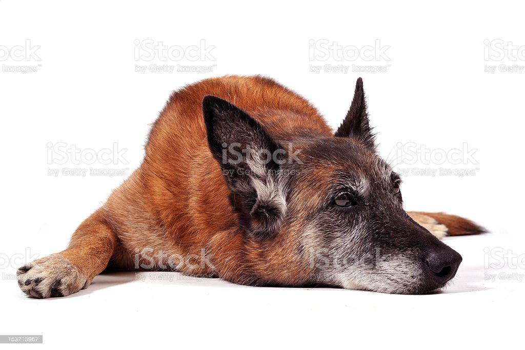 old malinois royalty-free stock photo