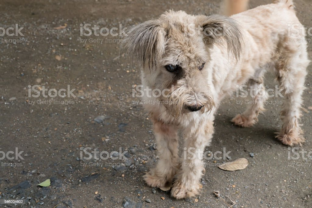 Old Maltese dog with cataract stock photo