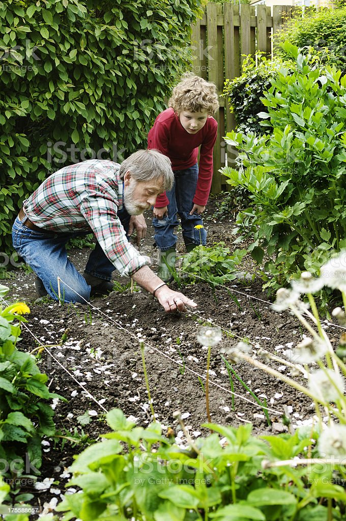 Old man and hound buy planting onions in garden with shrubs. royalty-free stock photo