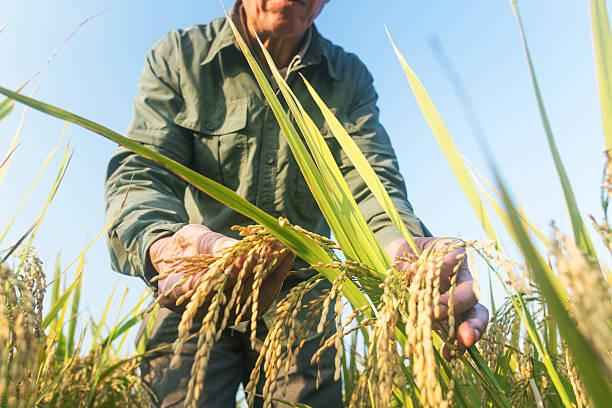 old man checking ripe rice in autumn - foto de stock