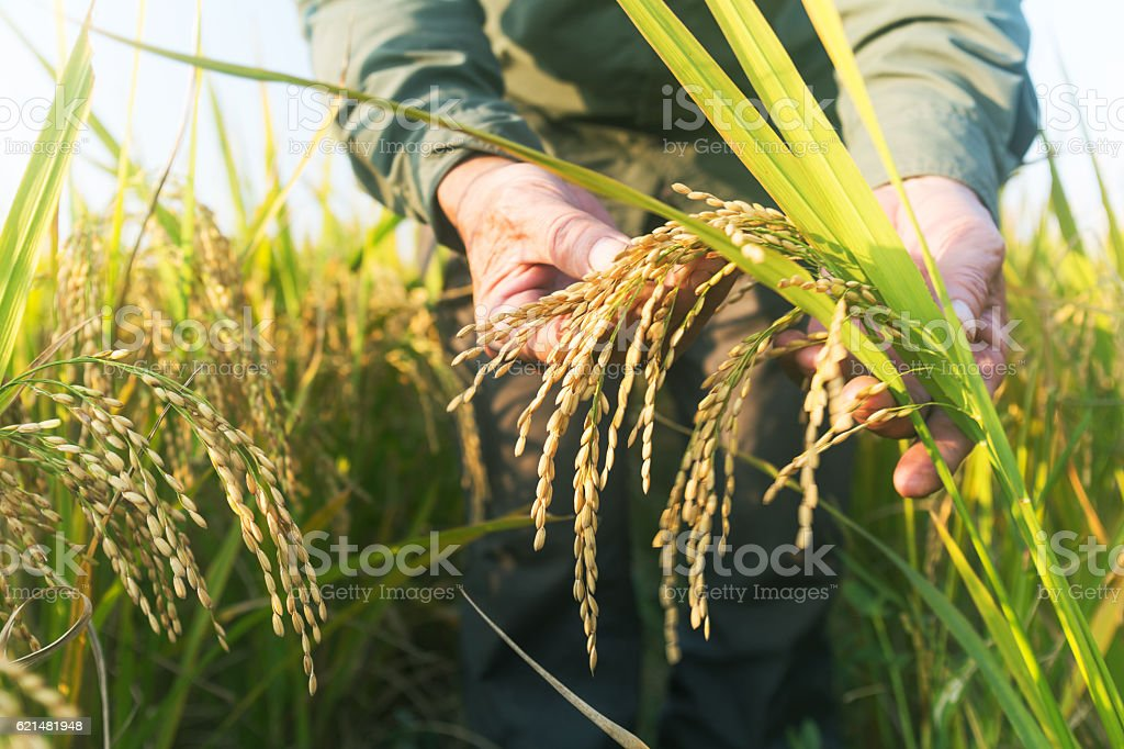 old man checking ripe rice in autumn stock photo