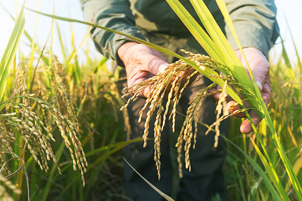 old man checking ripe rice in autumn old man checking ripe rice in autumn under sun shine rice cereal plant stock pictures, royalty-free photos & images