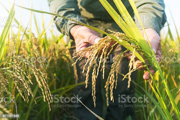 Old Man Checking Ripe Rice In Autumn Stock Photo - Download Image Now