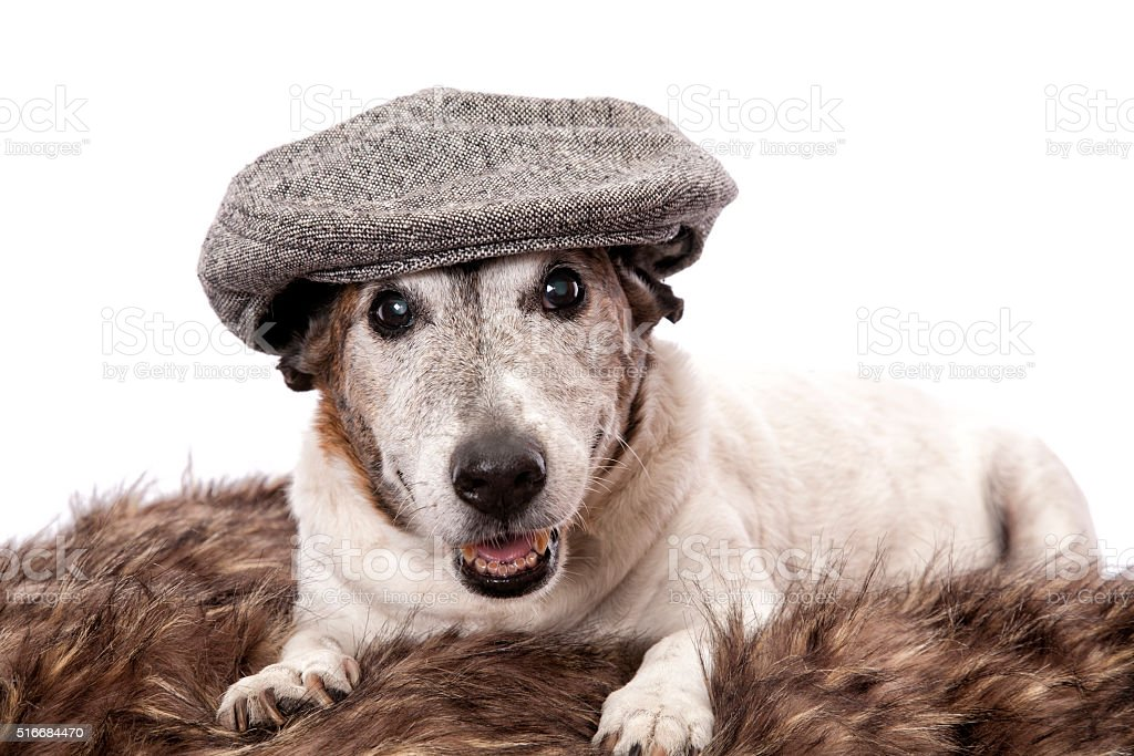 Old Man Dog stock photo