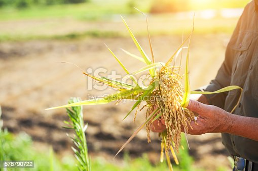 old man hold harvested rice in summer under sun shine
