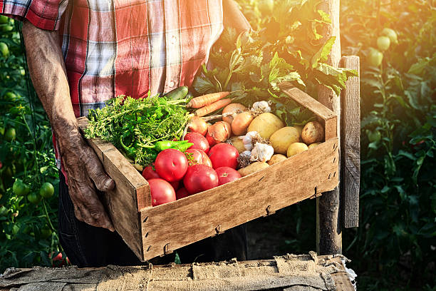old man holding wooden crate filled with fresh vegetables - tomato field stock photos and pictures