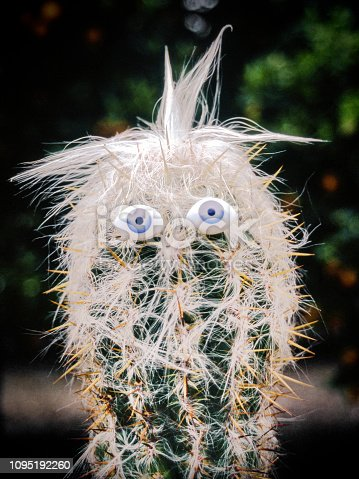 Old Man on the Mountain cactus with googly eyes and hair outdoors. 1984-04
