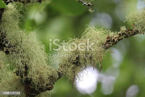 Close up image of Old man's beard lichen (Usnea filipendula, growing outdoors on a tree in a natural setting.