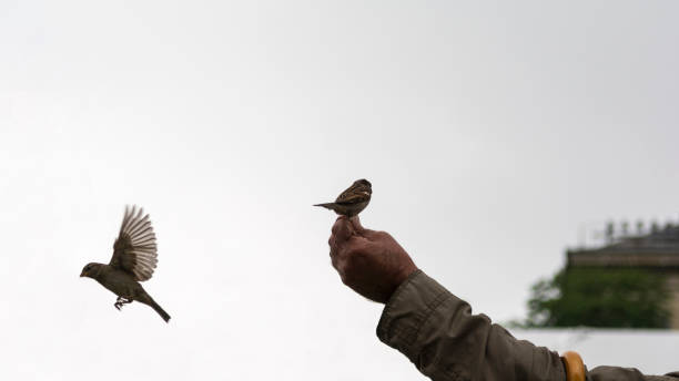 Old man's hand feeds small sparrows on a cloudy day stock photo