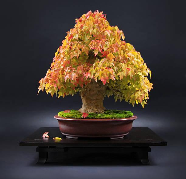 Old maple bonsai in leuchtenden Farben auf japanischem Tisch – Foto